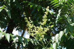 Yellowish flowers of Ailanthus altissima borne in panicle. S royalty free stock image