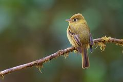 Yellowish Flycatcher - Empidonax flavescens - small passerine bird in the tyrant flycatcher family. It breeds in highlands from. Southeastern Mexico south to stock photos