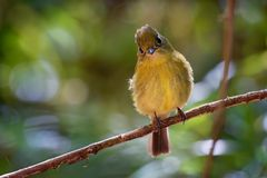 Yellowish Flycatcher - Empidonax flavescens - small passerine bird in the tyrant flycatcher family. It breeds in highlands from. Southeastern Mexico south to stock photo