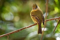 Yellowish Flycatcher - Empidonax flavescens - small passerine bird in the tyrant flycatcher family. It breeds in highlands from. Southeastern Mexico south to stock image