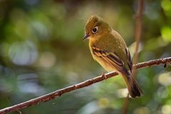 Yellowish Flycatcher - Empidonax flavescens - small passerine bird in the tyrant flycatcher family. It breeds in highlands from. Southeastern Mexico south to stock photography