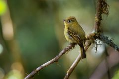 Yellowish Flycatcher - Empidonax flavescens - small passerine bird in the tyrant flycatcher family. It breeds in highlands from. Southeastern Mexico south to royalty free stock images