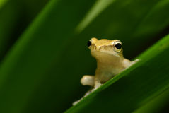 Yellowish frog stares at distance Royalty Free Stock Photos