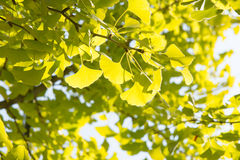 Yellowish green ginkgo leaves Stock Photo