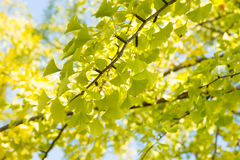 Yellowish green ginkgo leaves Stock Images