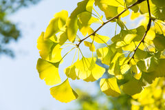 Yellowish green ginkgo leaves Royalty Free Stock Photos