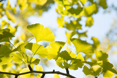 Yellowish green ginkgo leaves Stock Image