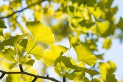 Yellowish green ginkgo leaves. Closeup of yellowish green ginkgo leaves in fall Royalty Free Stock Photos