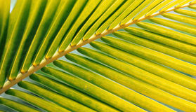 Yellowish green palm leaf Royalty Free Stock Photography