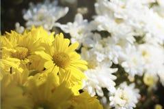 Yellowish i białe stokrotki w ranku obraz stock