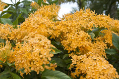 Yellowish Ixora beautiful flower Stock Photography