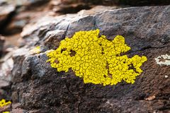 Yellowish lichens growing on light gray rock.  Royalty Free Stock Photography