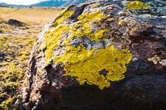 Yellowish lichens growing on light gray rock.  Royalty Free Stock Image