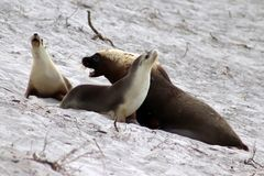 A adult male and two female Australian Sea Lion on the white beach ,South Australia. The yellowish mane is a peculiarity of australian adult seal lion Stock Photo