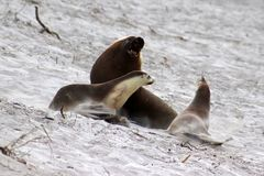 A group of  Australian Sea Lion on the white beach ,South Australia. The yellowish mane is a peculiarity of australian adult seal lion Royalty Free Stock Images