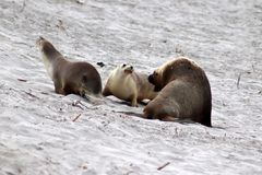 A group of  Australian Sea Lion at Seal Bay ,South Australia. The yellowish mane is a peculiarity of australian adult seal lion Royalty Free Stock Image