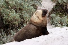 A adult male sea lion with yellowish mane in South Australia. The yellowish mane is the peculiarity of the australian sea lion Stock Photo