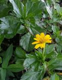 Yellowish in the middle of greeness. Yellow shining flower found beside the street Royalty Free Stock Photo