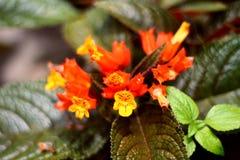 Yellowish orange flower. Little bloom in yellowish orange color with dark green leaf Stock Photography