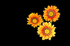 Yellowish Orange Gazania flowers isloated on black Royalty Free Stock Image