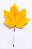 Yellowish - Orange Maple Leaf Royalty Free Stock Image