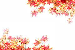 Yellowish orange maple leaves. Royalty Free Stock Photos