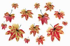 Yellowish orange maple leaves. Stock Images