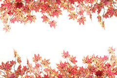 Yellowish orange maple leaves. Royalty Free Stock Image