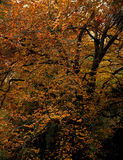 Yellowish orange. Trees of the natural park Sintra-Cascais, Portugal Royalty Free Stock Photos