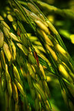 Yellowish Paddy Stock Images