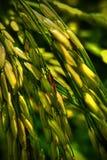 Yellowish Paddy Stock Images
