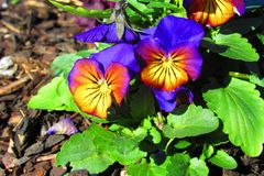 Yellowish pansies with purple petals with dew drops in morning sunlight. Yellowish pansies with purple veins and a purple petal with dew drops in morning stock photos