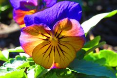 Yellowish pansy with purple petals with dew drops in morning sunlight. Yellowish pansy with purple veins and a purple petal with dew drops in morning sunlight stock images
