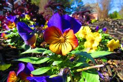 Yellowish Reddish Purplish pansy surrounded by yellow and purple pansies in the morning sunlight. Yellowish Reddish Purplish Pansy surrounded by yellow and royalty free stock image
