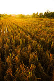 Yellowish ricefield Royalty Free Stock Images