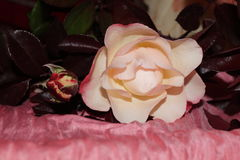 Yellowish roses. With brown leaves Royalty Free Stock Photos