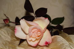 Yellowish roses. With brown leaves Royalty Free Stock Image
