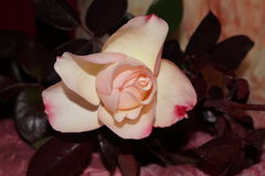 Yellowish roses. With brown leaves Stock Images