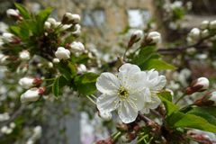 Yellowish stamens and white petals of cherry flower. S stock photography