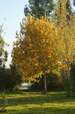 Yellowish trees in an autumn sunset. 1 Royalty Free Stock Images