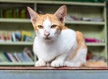Yellowish white cat library Stock Image