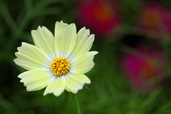 Yellowish white flower Royalty Free Stock Image