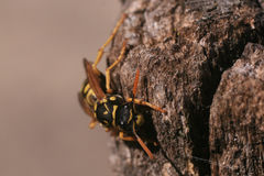 Yellowjacket Royalty Free Stock Photography