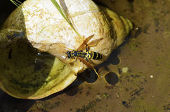 Yellowjacket Stockfotos