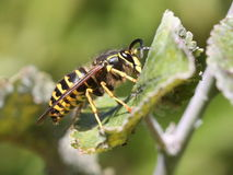 Yellowjacket on a Leaf Royalty Free Stock Image