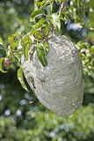 Yellowjacket Nest-Hängen Lizenzfreies Stockfoto