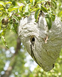 Yellowjacket Nest-oben Abschluss Stockbild