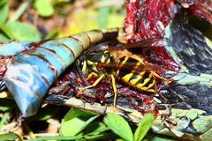 Yellowjacket oriental mangeant le serpent Photos stock