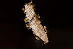 Yellowjacket wasps Royalty Free Stock Photos
