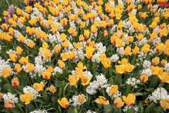Yellowl tulips and white hyacinth blooming in a garden. Yellowl tulips and white hyacinth blooming in a garden Stock Image